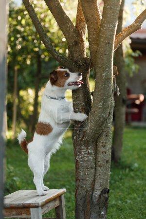 Photo pour Chien Jack Russell Terrier promenades dans le parc, été , - image libre de droit