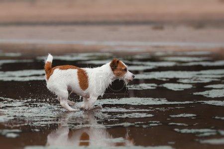 Photo pour Chien court sur la plage pour jouer un Terrier actif - image libre de droit