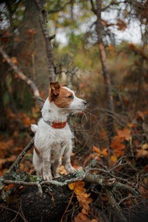 Photo pour Chien de race Jack Russell Terrier marche dans le parc d'automne - image libre de droit