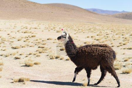 Photo pour Un seul lama sur les hautes terres andines en Bolivie. Animal adulte galopant dans le désert. Vue latérale . - image libre de droit