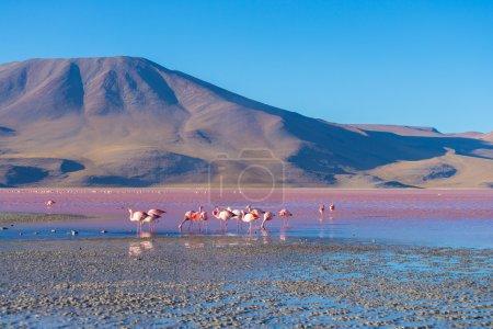 """Photo pour Groupe de flamants roses dans l'eau colorée de """"Laguna Colorada"""" (lac salé multicolore), parmi les destinations de voyage les plus importantes en Bolivie. Route vers Uyuni Salf Flat . - image libre de droit"""