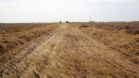 Photo pour Deux combinaisons travaillent ensemble pour récolter un grand champ de blé - image libre de droit