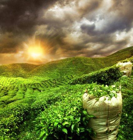 beautiful tea plantation sunset