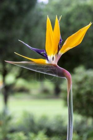 Photo pour Strelitzia reginae est une plante monocotylédone à fleurs originaire d'Afrique du Sud. Les noms les plus communs sont Fleur de Grue ou Oiseau du Paradis. Populaire comme plante ornementale à faible entretien dans le monde entier, y compris les Amériques, les îles de Madère et Aus - image libre de droit