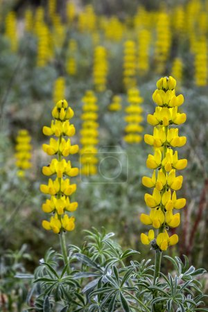 Lupinus luteus, comunly  known as annual yellow-lupin.  A native plant to the Mediterranean region of Southern Europe.