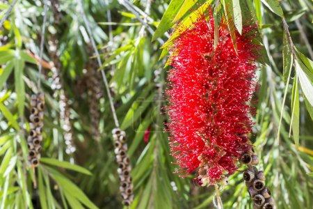 Callistemon vimidinalis, a ornamental shrub in the family Myrtac