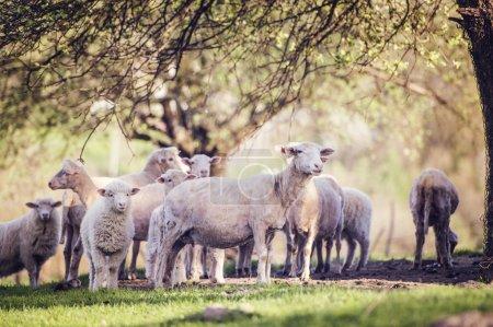 Photo pour Troupeau de moutons à l'extérieur en été nature - image libre de droit