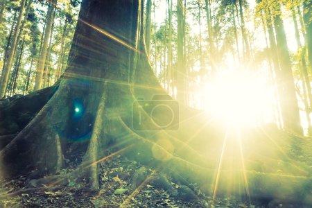 Photo pour Forêt de jungle avec racine d'arbre et éruption solaire - filtre vintage - image libre de droit