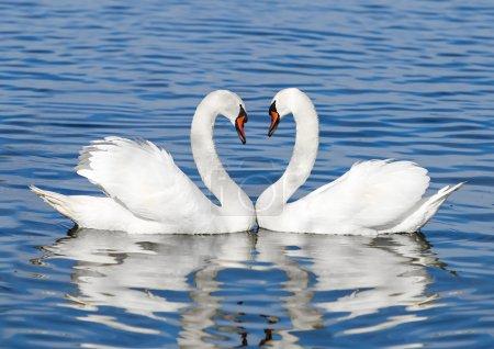 Photo pour Couple de cygnes blancs - image libre de droit