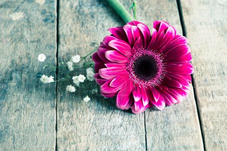 Photo for Beautiful Gerbera flower on background,close up - Royalty Free Image