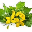 Chelidonium plant with flowers or greater celandin...