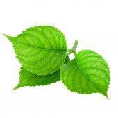 Jarní zelená listová izolovaných na bílém