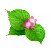 Zelený list květina růžová