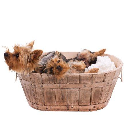 yorkshire terriers in basket