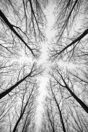 Photo pour Photo noir et blanc des arbres forestiers - image libre de droit
