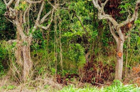 Photo pour À l'entrée des bois épais se trouvent deux arbres formant une entrée partiellement voûtée de la végétation groupée, y compris des feuilles séchées de branches qui ont été coupées de leurs essences, et des racines aériennes suspendues. - image libre de droit