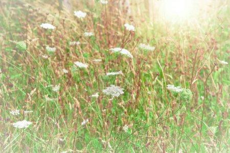 Photo pour Champ de fleurs sauvages en dentelle Reine Annes blanche et une lueur du soleil - image libre de droit