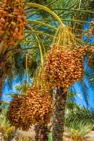 Tunisia, organic dates ripening on the palm tree in the Tunisia
