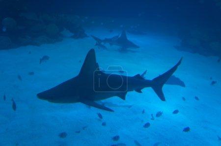 Foto de Gran tiburón peligroso nadar en el tanque - Imagen libre de derechos