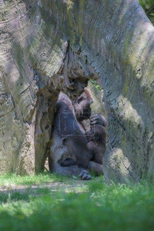 Photo pour Gorille de bébé endormi sur le bras de la mère - image libre de droit