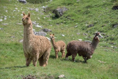 Foto de Retrato de alpaca sobre fondo de hierba verde - Imagen libre de derechos