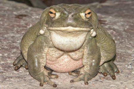 bull frog close up portrait