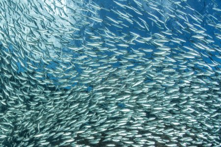 Entering Inside a sardine school of fish underwater