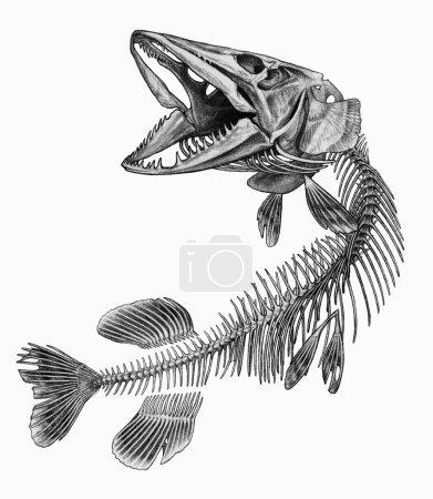 Pike fish skeleton