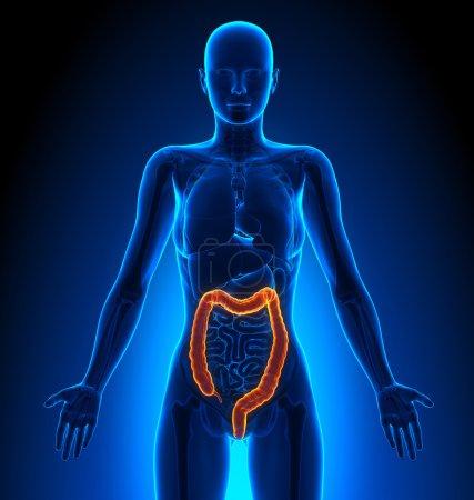 Photo pour Female Anatomy Medical Imaging by decade3d - image libre de droit