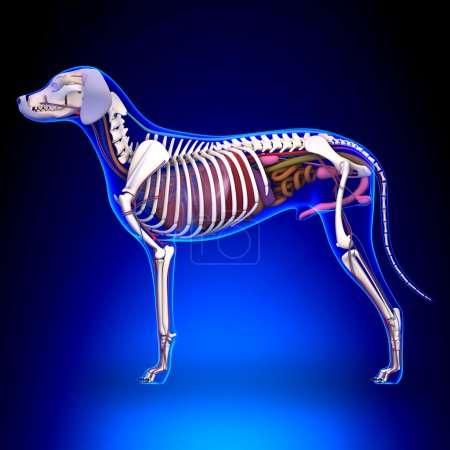 Photo pour Organes internes du chien Anatomie - Anatomie d'un mâle Organes internes du chien - image libre de droit