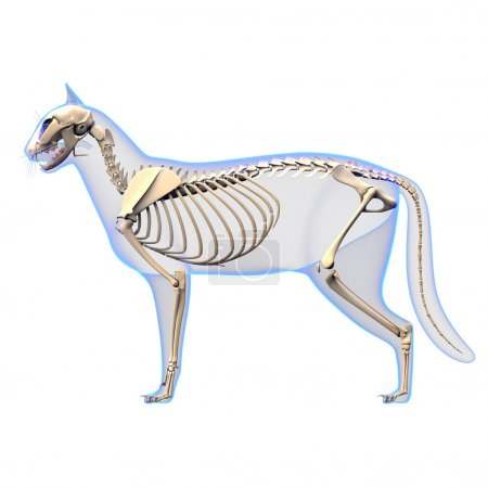 Cat Skeleton Anatomy - Anatomy of a Cat Skeleton - side view