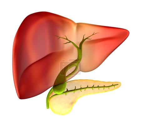 Photo pour Section transversale de la vésicule biliaire Anatomie humaine réelle - isolé sur blanc - image libre de droit