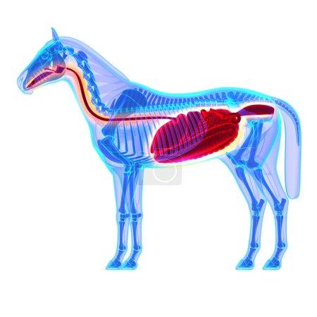 Horse Digestive System - Horse Equus Anatomy - isolated on white