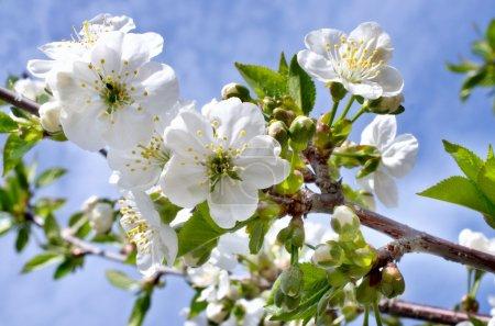 Foto de Rama de flores de cerezo en el jardín en primavera - Imagen libre de derechos