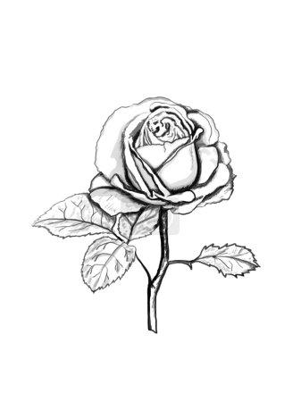 Photo pour Croquis rose. contour noir sur fond blanc. Illustration . - image libre de droit