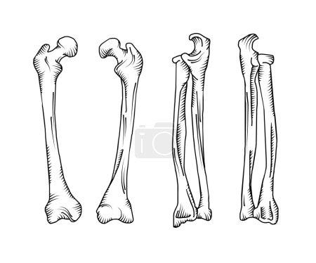 Hand drawn realistic human bones