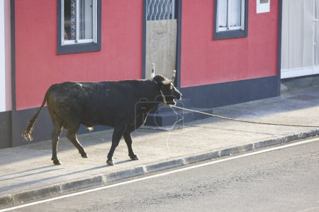 Traditional azores bullfighting feast in Terceira. Portugal. Tou