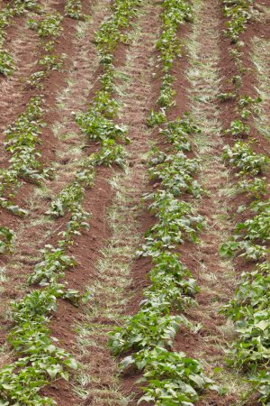 Green leaves on a red soil plantation in Azores. Portugal