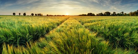 Photo for Rural landscape with wheat field on sunset - Royalty Free Image