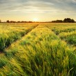 Rural landscape with wheat field on sunset...