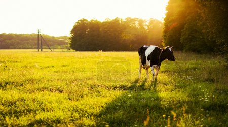 Cow on green grass and evening sky
