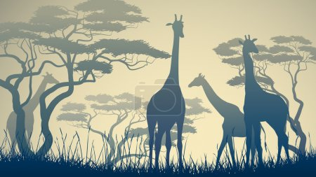 horizontale Darstellung wilder Giraffen in der afrikanischen Savanne.