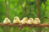 Five chicks are perching on bamboo stem