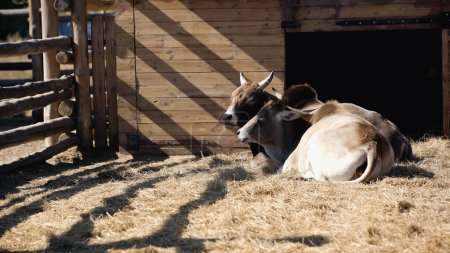 sunlight on bulls eating hay while lying in zoo