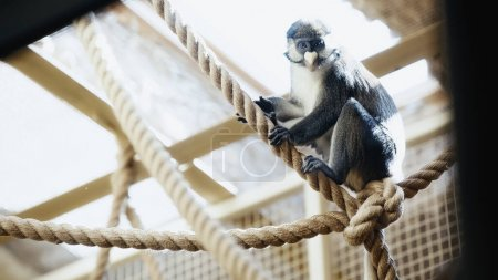 wild monkey sitting on ropes in zoo with blurred foreground