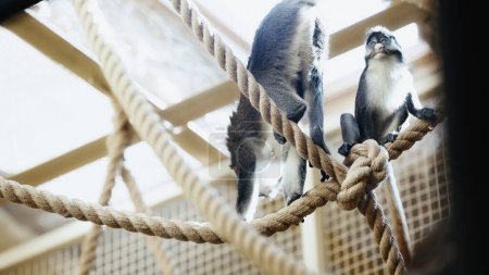 wild monkeys sitting on ropes in zoo with blurred foreground