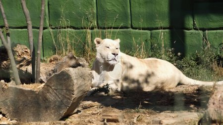 wild lioness lying near green wall and plants in zoo