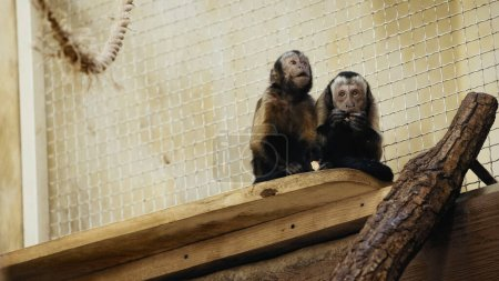 brown wild chimpanzee eating bread in cage