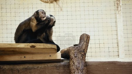 furry and wild chimpanzee sitting in cage and eating bread