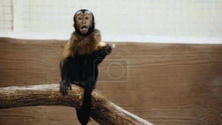 wild furry monkey eating potato in zoo